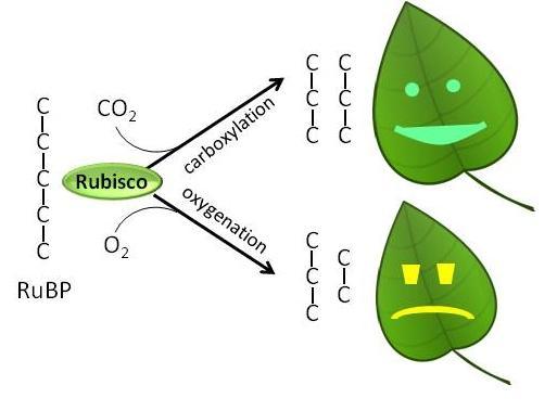 bicarbonate ion